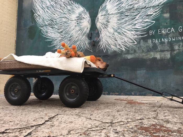 crippled-dog-rides-wagon-lymphoma-maverick-9