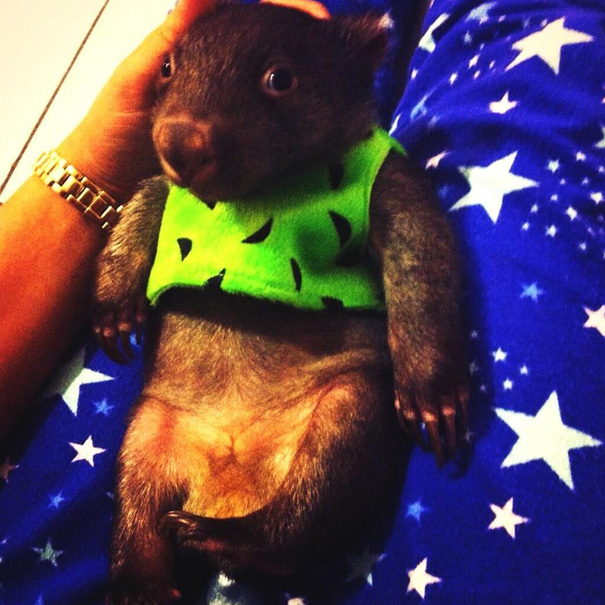 Baby Wombat Is Growing Up