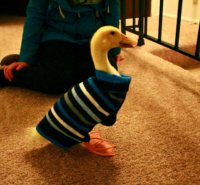 Lebraun The Duck Wearing His Sweater
