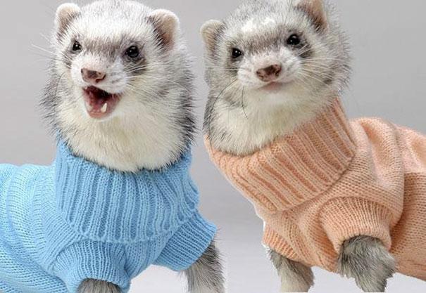 Adorable Ferrets