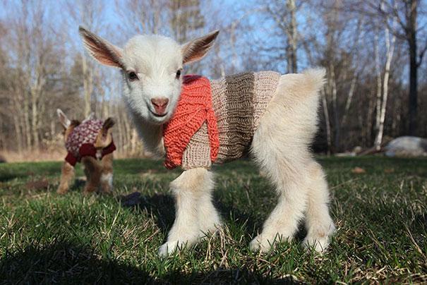 Újszülött kecske viselése kézzel kötött pulóverek