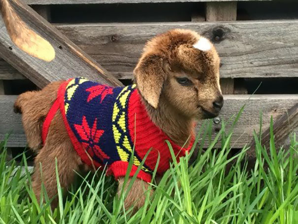 Cute Baby Pygmy Goats In Sweaters 15+ Tiny Animals In Ti...
