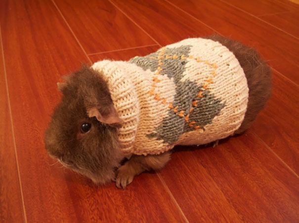 Little Guinea Pig With Little Sweater
