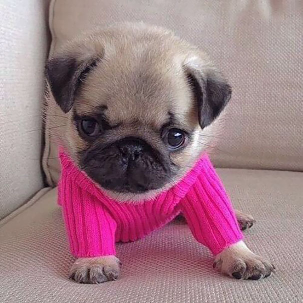 This Little Dog And Its Sweater