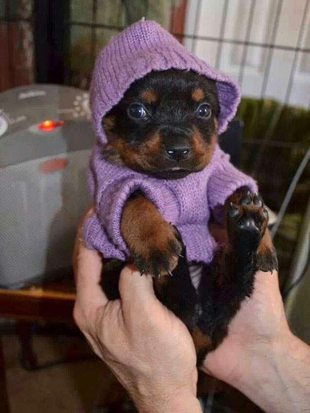 This Little Rottie Who Is All Cozy In Her Sweater