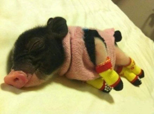 Sleeping Piglet In A Tiny Sweater And Little Socks