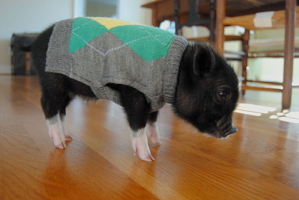 This Cute Piglet