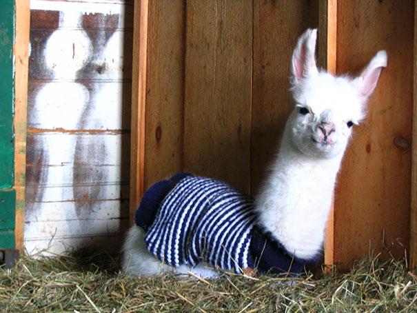 Cute Little Llama In A Sweater