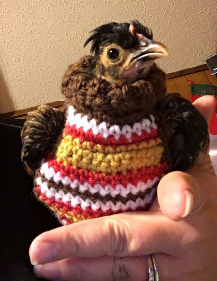So My Mom Knitted A Sweater For A Chicken She's Babysitting