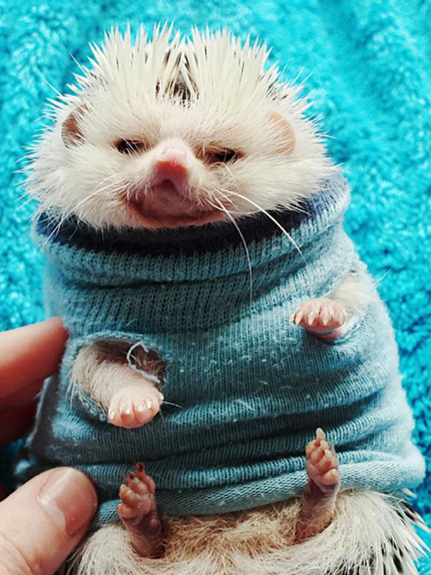 Hedgehog In A Sweater