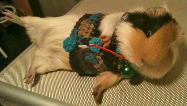 Guinea Pig Showing Its Cute Crocheted Sweater