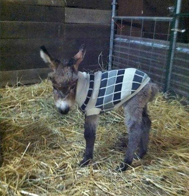 Baby Donkey Wearing A Sweater