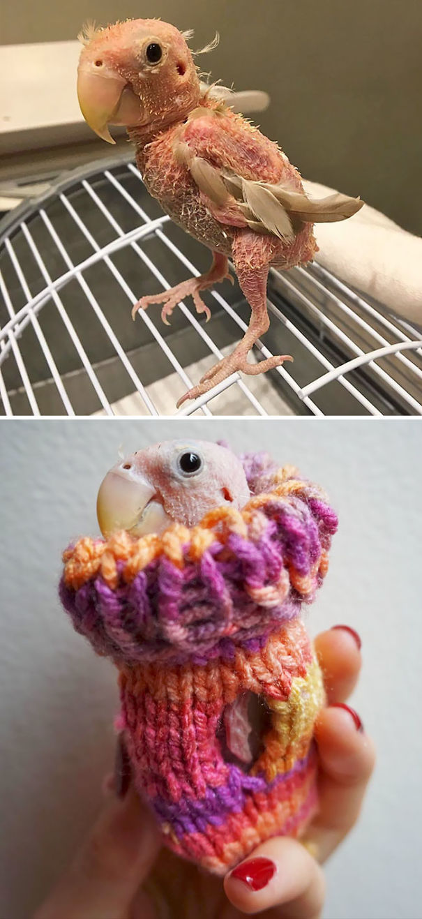 People Send Mini Sweaters For This Featherless Lovebird To Save Her From Freezing