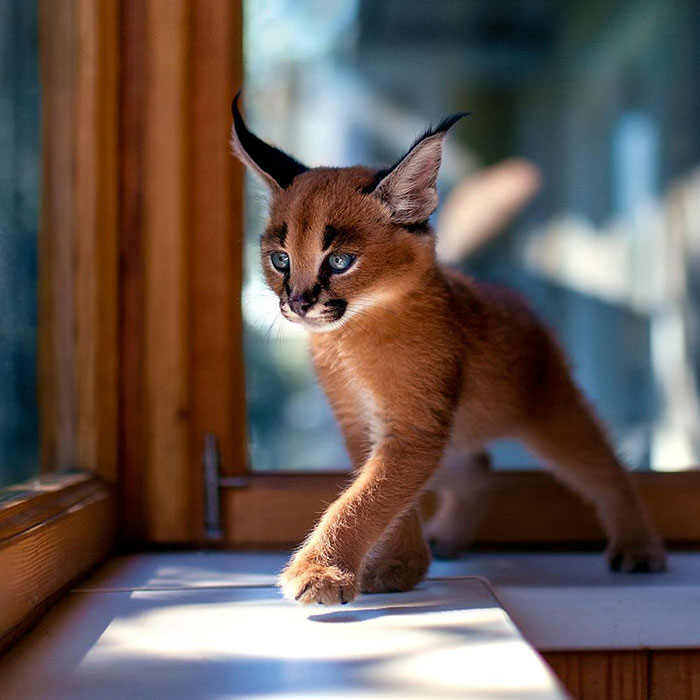 Caracal Cat Size