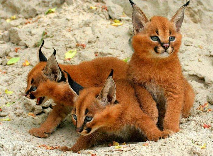 Baby Caracals