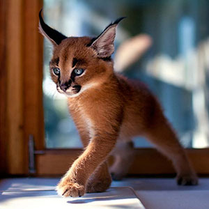 Is This The Cutest Cat Species Ever?