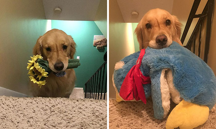 Therapy Dog Takes A Different Toy To Bed Each Night