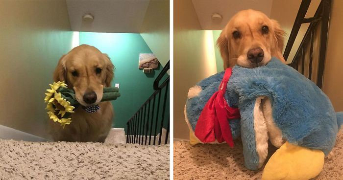 Therapy Dog Takes A Different Toy To Bed Each Night   Bored Panda