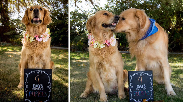 Pregnant Dog Gets Her Own Maternity Photo Shoot, And She Totally Kills It