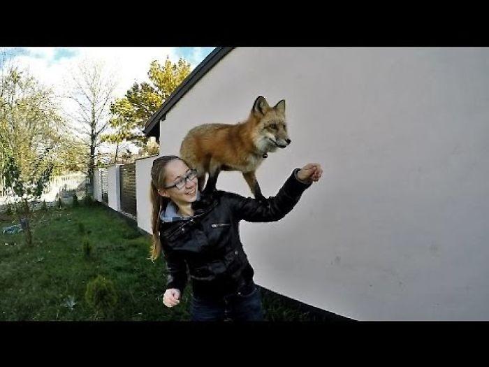 This Is My Pet Fox Freya Doing Tricks