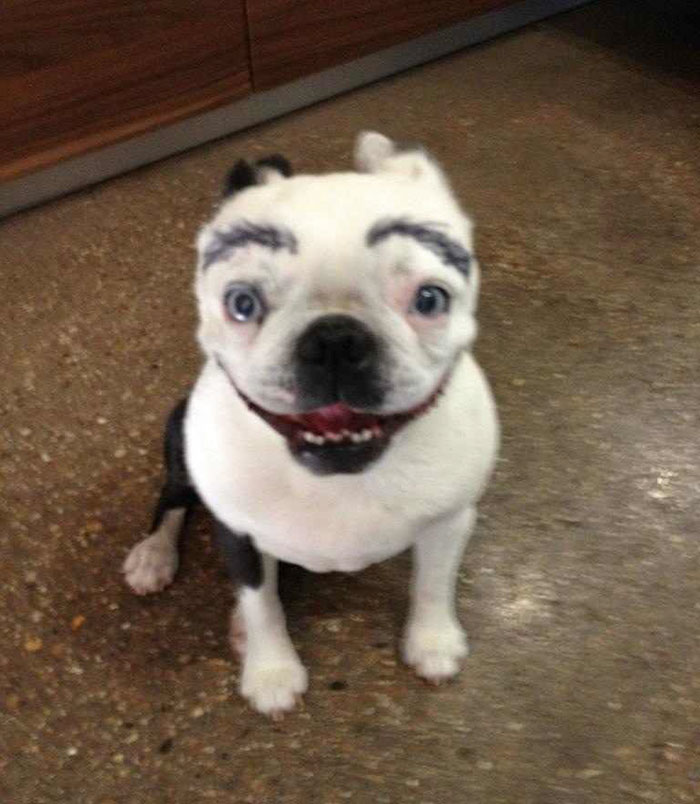 My Friend Has Convinced Me That Drawing Eyebrows On Your Dog Makes Everything Funny