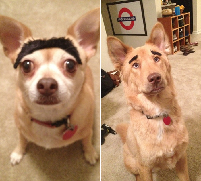 One Night While Drinking We Put Eyebrows On Our Dogs. They Seemed Okay With It