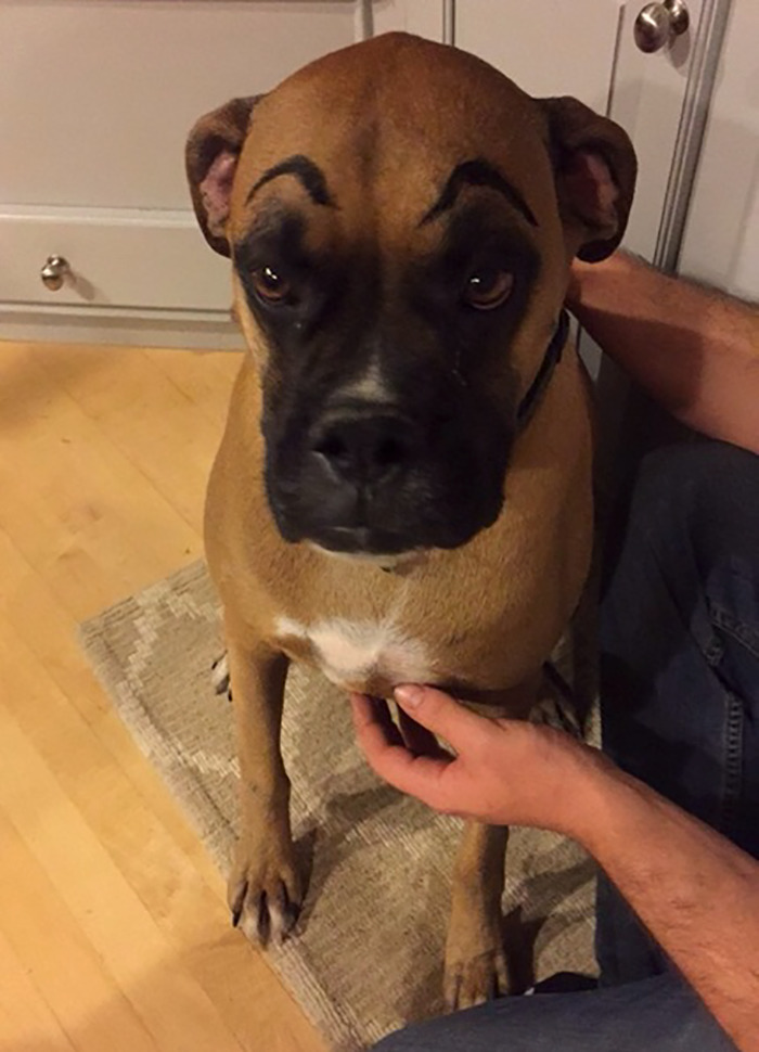 My Neighbor's Dog Stops By Sometimes. We Drew Eyebrows On Him This Time