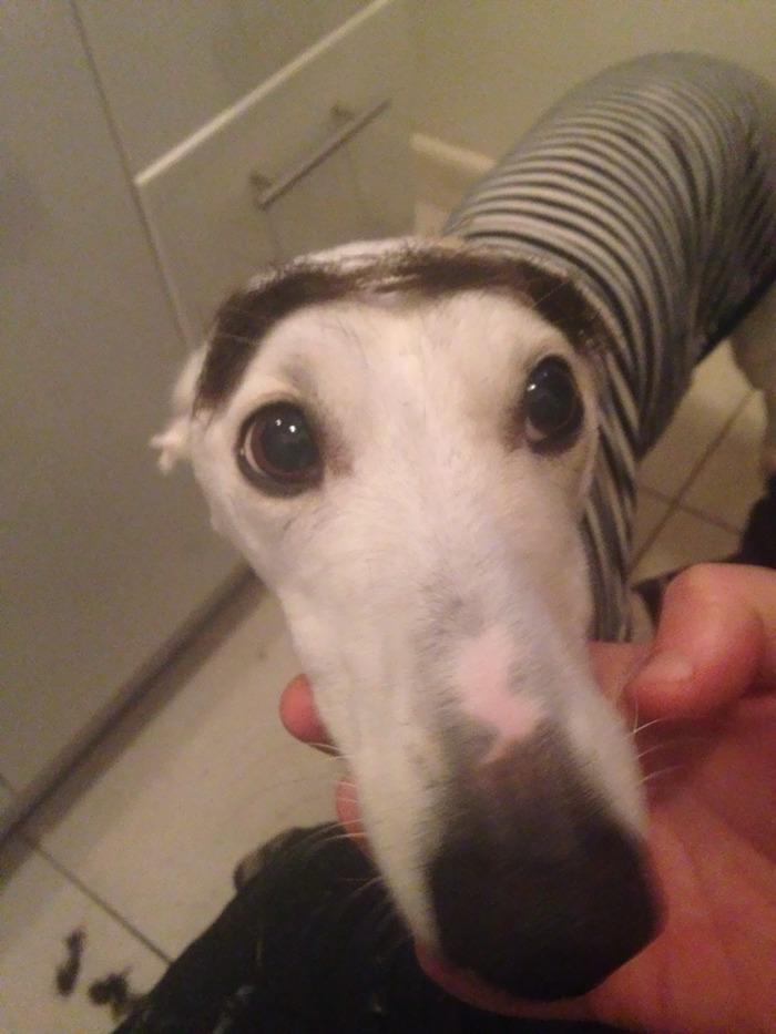 Gave My Dog An Eyebrow Transplant