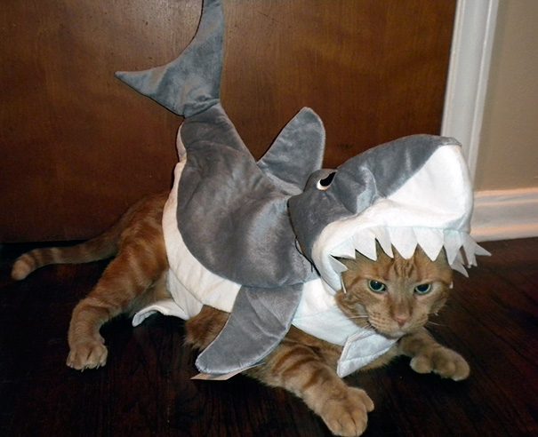 My Girlfriend Got Her Cat A Shark Costume. I Don't Think He Was A Fan