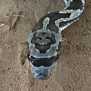 This Hipster Snake Was Born With Sunglasses And A Mustache