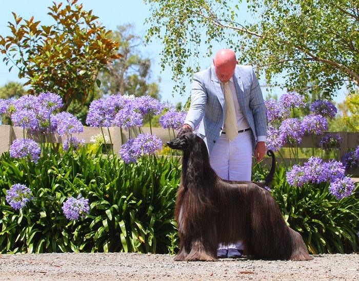 long-hair-afghan-hound-tea-01