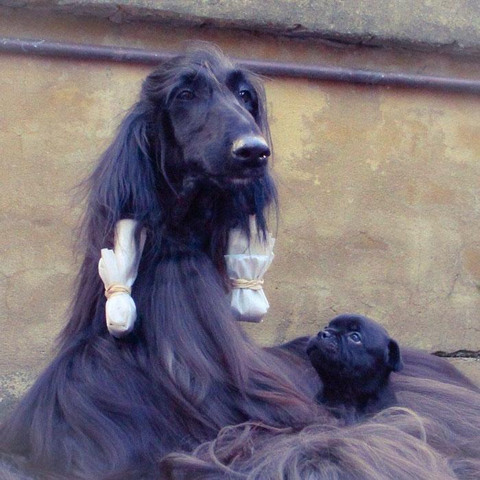 long-hair-afghan-hound-tea-03