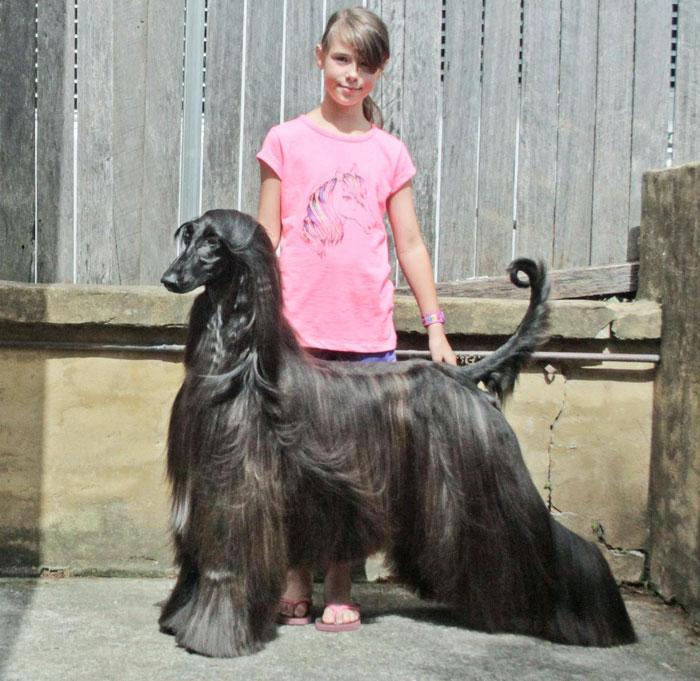 long-hair-afghan-hound-tea-3