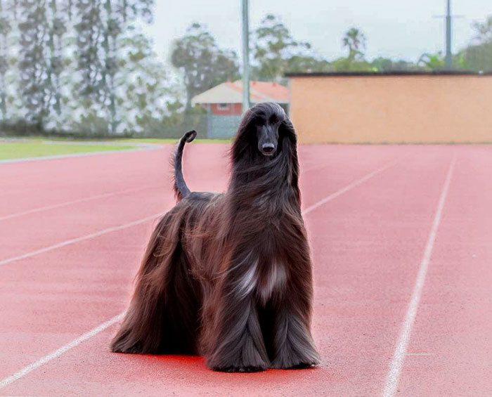 long-hair-afghan-hound-tea-4
