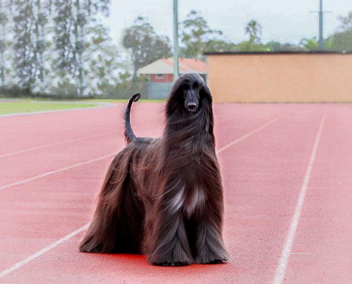 long-hair-afghan-hound-tea-4