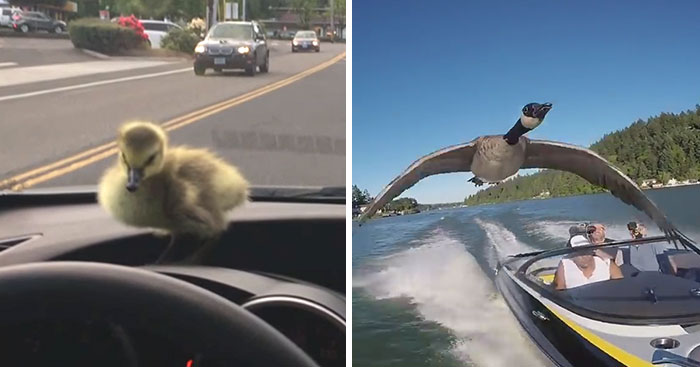 Man Who Rescued A Gosling From Drowning 2 Years Ago, Can't Get Rid Of Her Because She Won't Leave Him