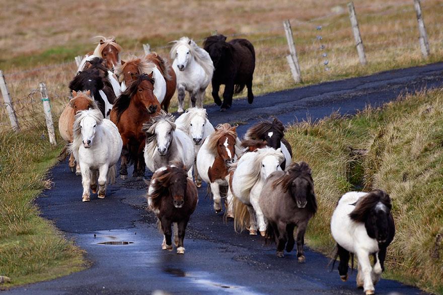 miniature-ponies-foula-island-11