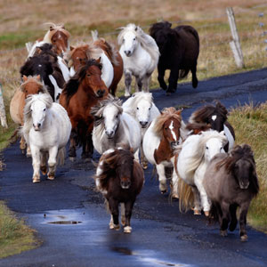 This Island Has More Miniature Ponies Than Humans