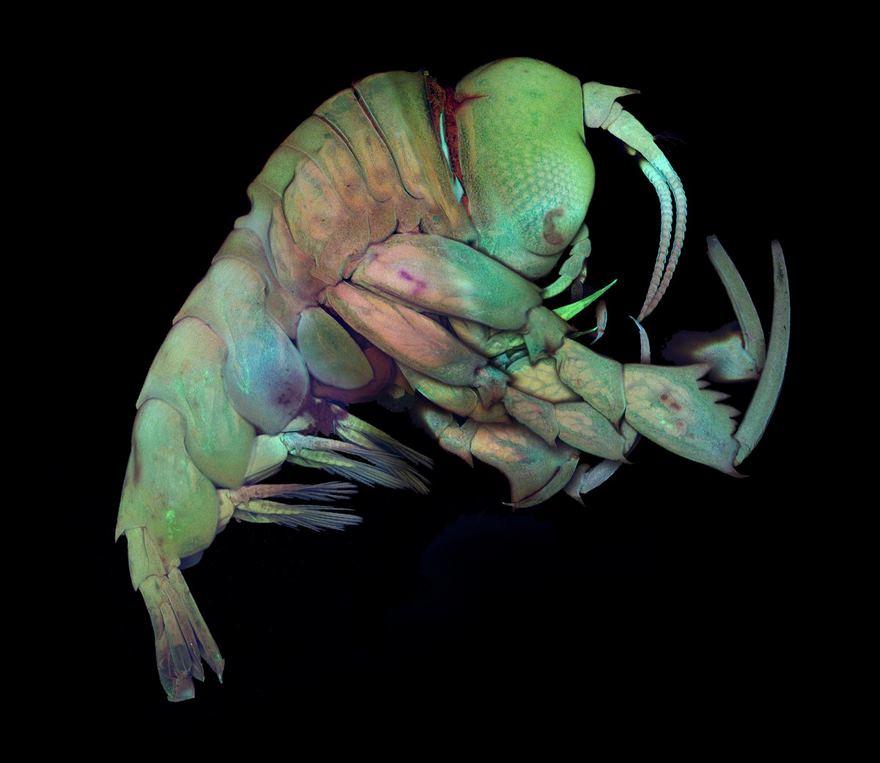 Deep Sea Crustacea