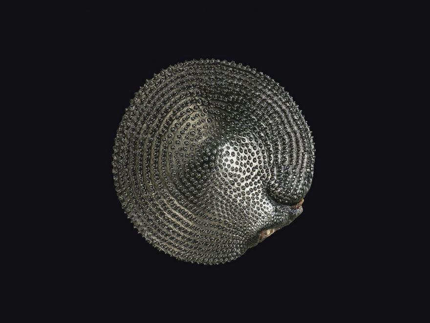 Curvepod Fumewort (Corydalis Curvisiliqua) Seed