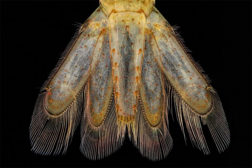 Tail Of A A Small Shrimp