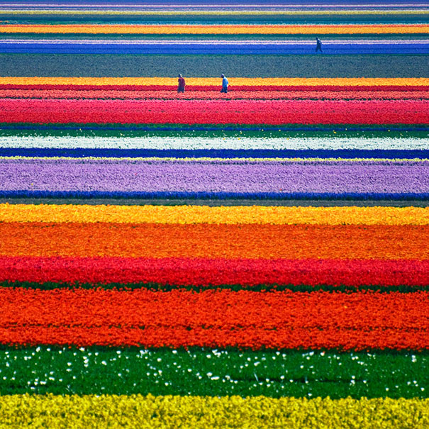 Tulip Fields Just Outside Alkmaar, Netherlands