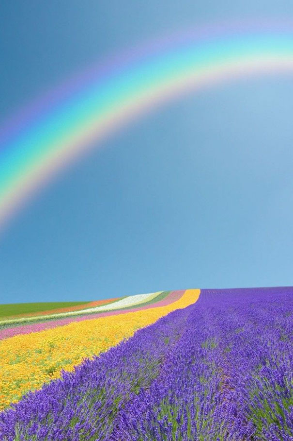 Rainbow Above The Flower Field