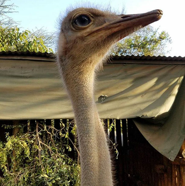 ostrich-snuggles-orphaned-elephants-2