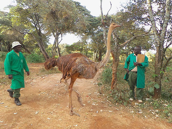 ostrich-snuggles-orphaned-elephants-3