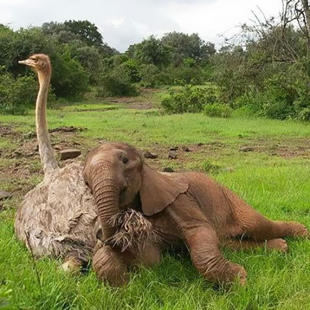 ostrich-snuggles-orphaned-elephants-5