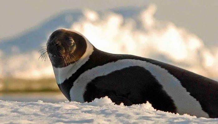 rare-four-stripes-ribbon-seal-spotted-2