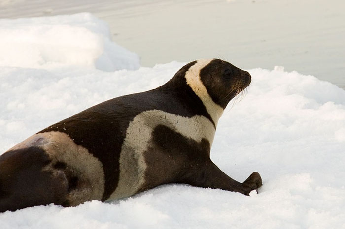 rare-four-stripes-ribbon-seal-spotted-4