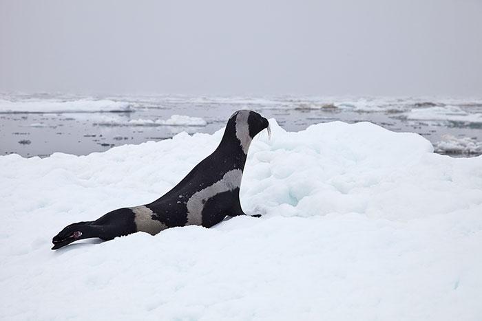 rare-four-stripes-ribbon-seal-spotted-6