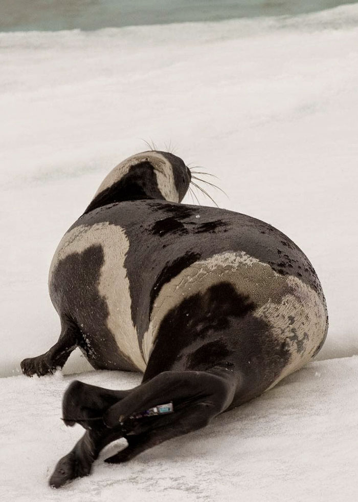 rare-four-stripes-ribbon-seal-spotted-7